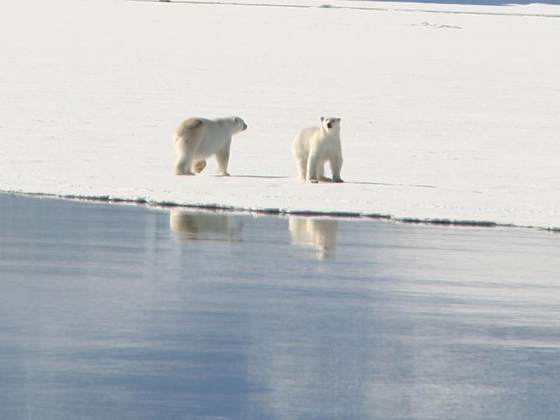 Spitsbergen - IJsbeer