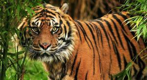afb-hero-tijger