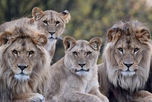 beekse-bergen-groep-leeuwen