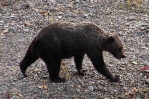 Alaska2013_Grizzly